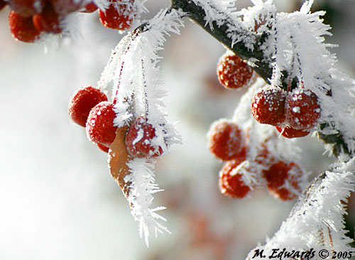 hoar_frost_crab_apples500