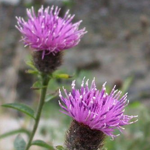 Flower-6-300px