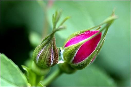 No1CloseupGraceBrouwer-wildflower%20closeup-wild%20rose%20buds