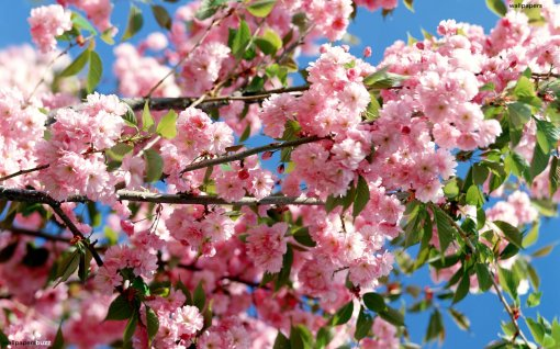 b_pink-blossoming-tree[1]
