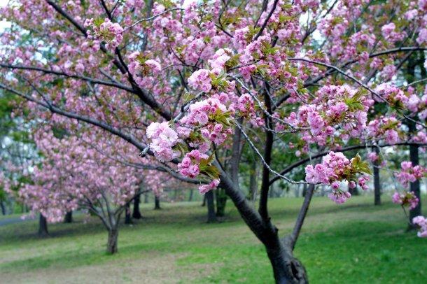 cherry-blossom-17-765499[1]