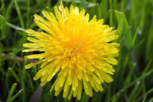dandelion-bsp[1]