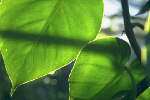 Sunlight_Through_Leaves[1]
