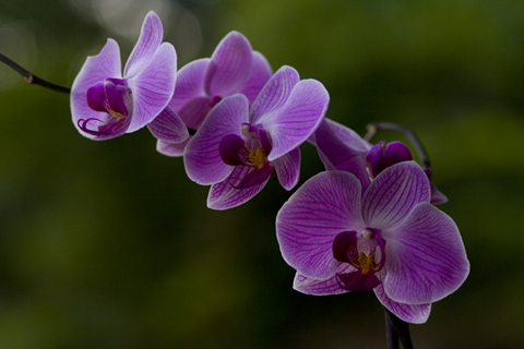 purple orchid flowers pictures.[1]