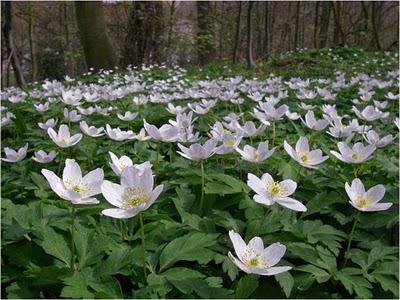 wood anemones[1]