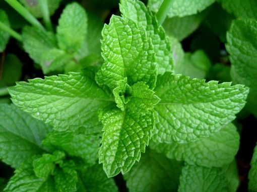 Mint-leaves[1]