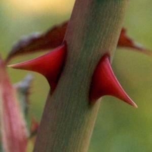 rose-thorn-300x300[1]
