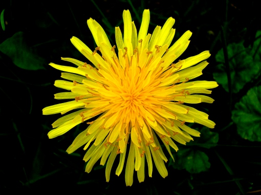 Top_view_of_a_dandelion[1]