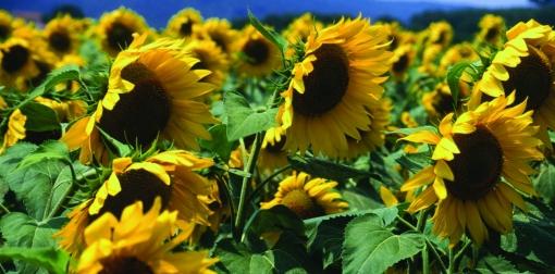 sunflower field[1]