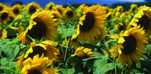 sunflower field[1]