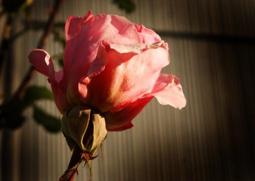 autumnrose[1]