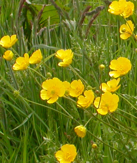 Meadow-buttercup-Ray-Woods[1]
