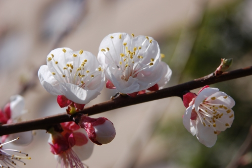 Blossoming_almond_tree[1]