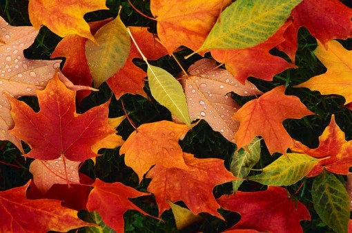colourful-fall-leaves-autumn[1]
