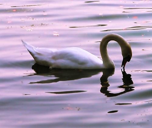Swan[1]