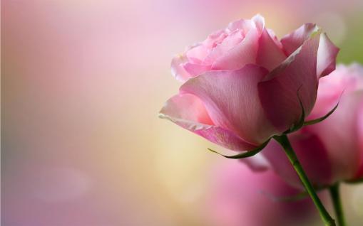 fresh_rose_petals[1]