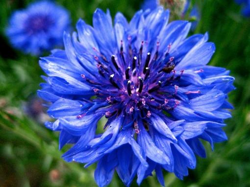 Bachelor's_button,_Basket_flower,_Boutonniere_flower,_Cornflower_-_3[1]