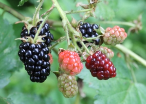 Ripe,_ripening,_and_green_blackberries[1]