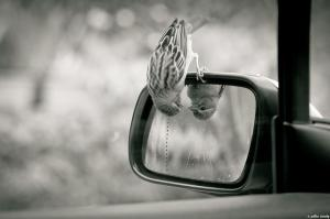 bird-looking-in-rear-view-mirror[1]
