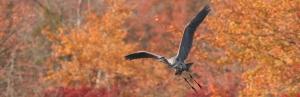 Heron in Autumn_crop[1]