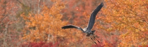 Heron in Autumn_crop[1]