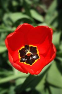 Inside_of_a_tulip[1]